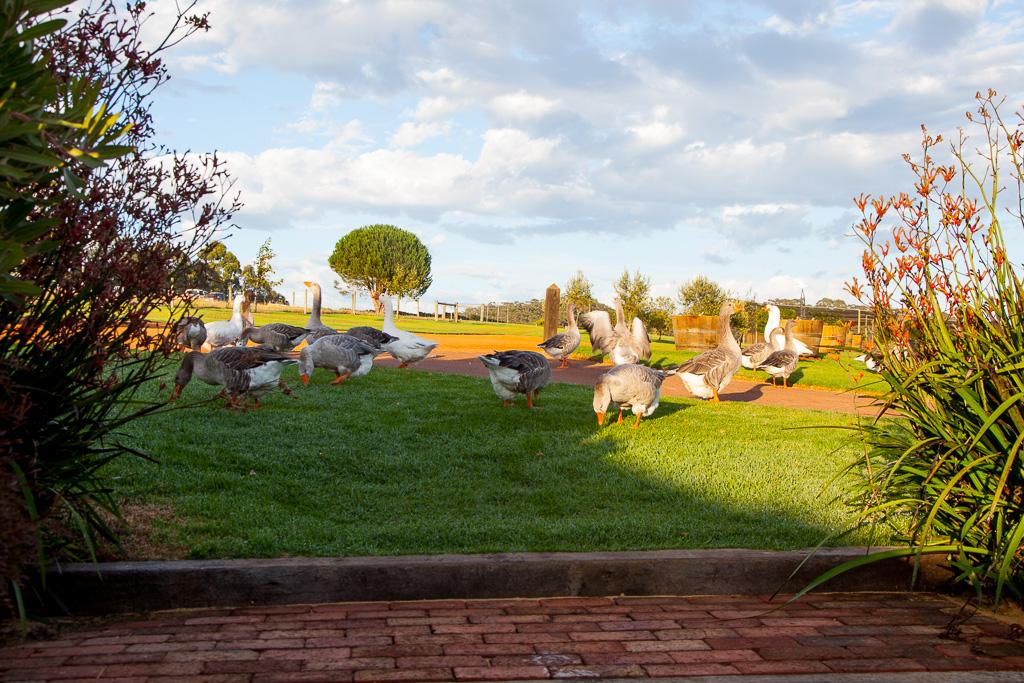 The Singlefile geese